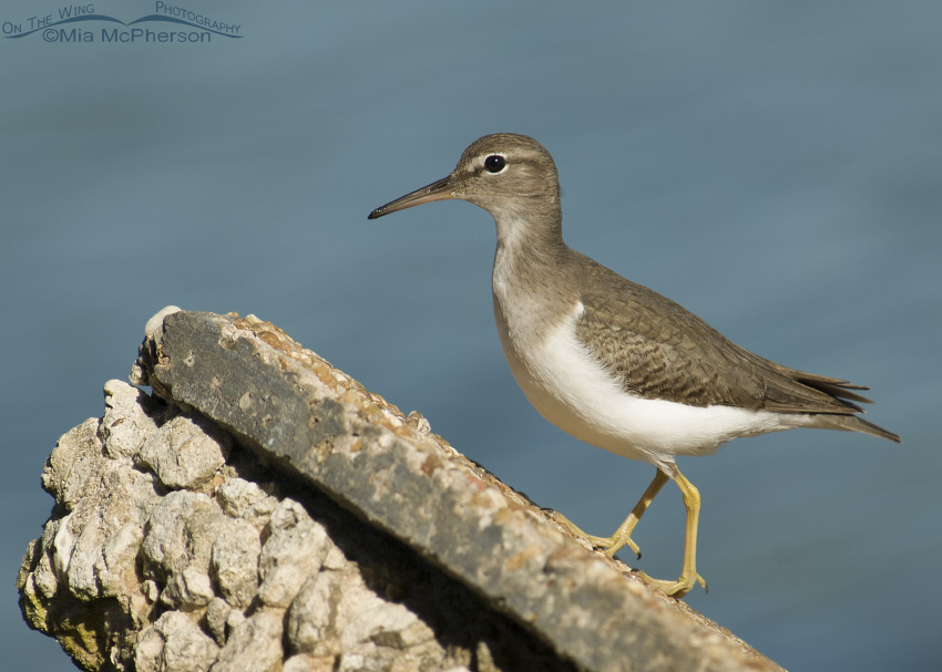 Spotted Sandpiper on a concrete seawall