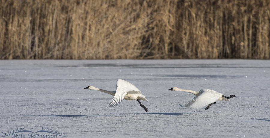 Tundra Swans at lift off