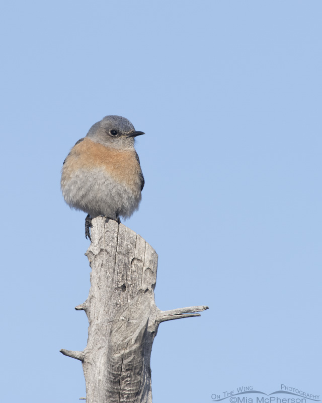 Front view of a Western Bluebird female