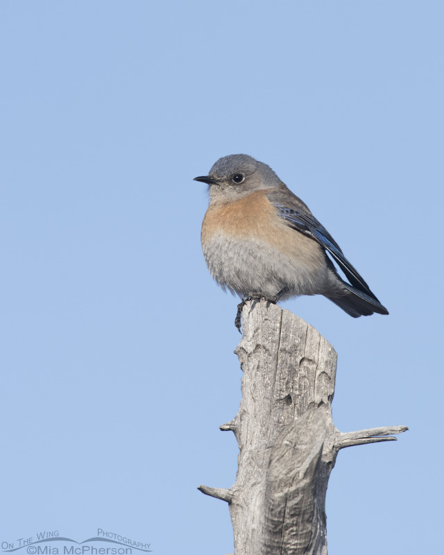 A female Western Bluebird in Tooele County, Utah