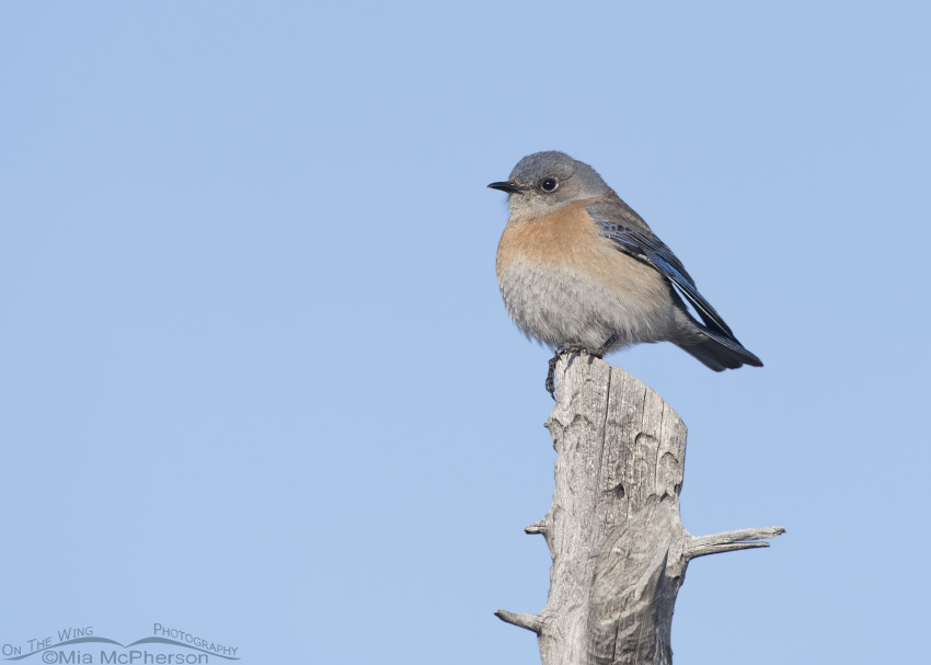A perched Western Bluebird female
