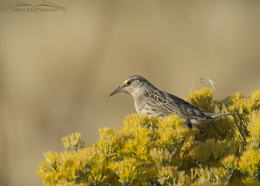 Western Meadowlark on blooming Rabbitbrush