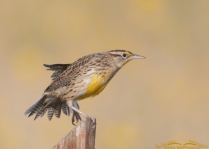 Western Meadowlark stretching on a post