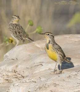 A pair of Meadowlarks