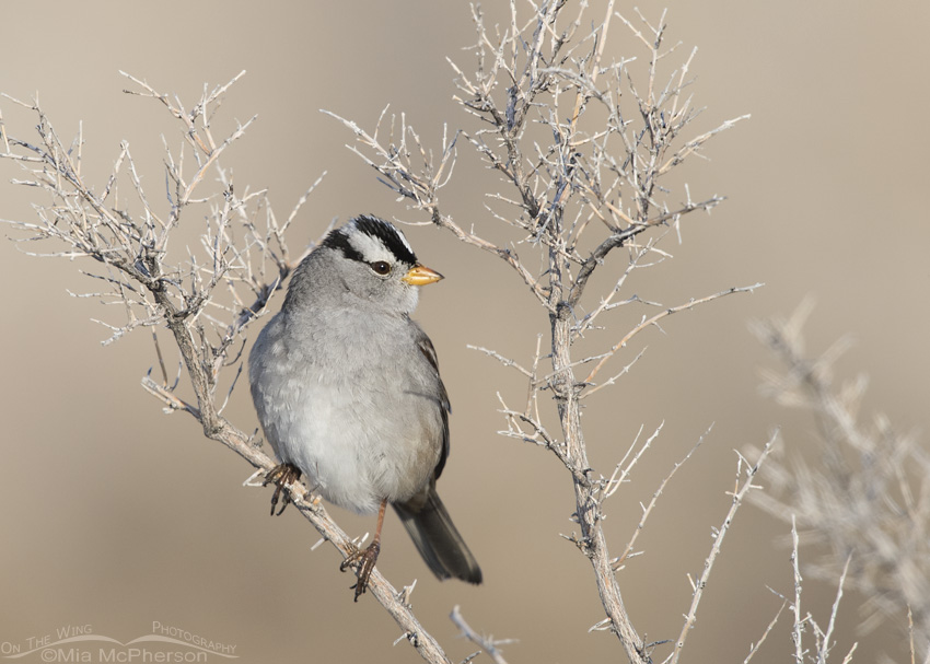 Adult White-crowned Sparrow perched