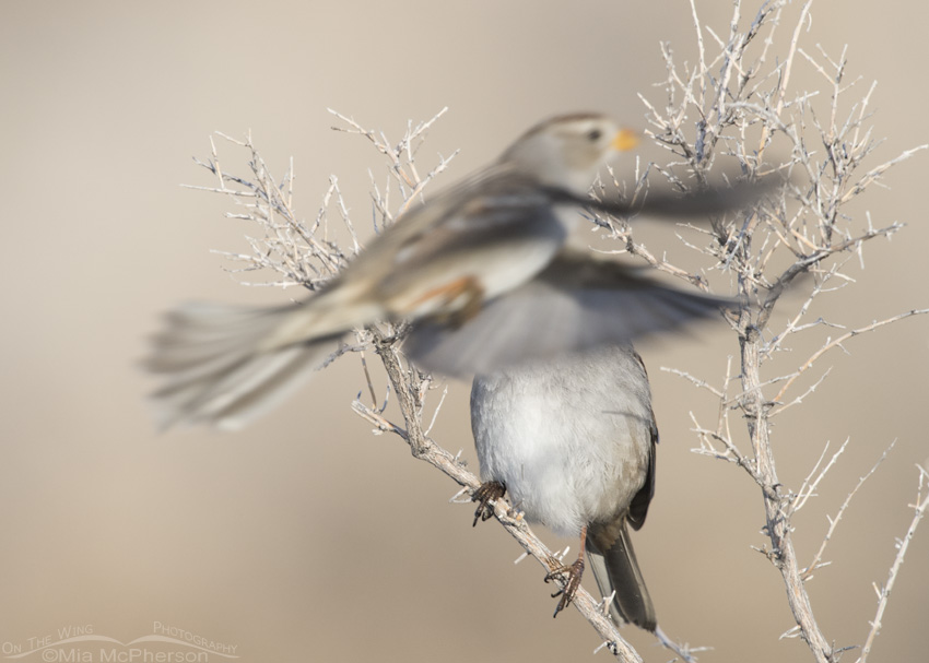 Juvenile White-crowned Sparrow Photobombing an adult