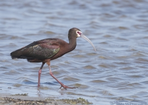 Adult White-faced Ibis at Red Rock Lakes NWR
