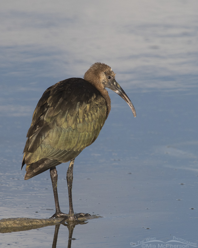 Resting juvenile White-faced Ibis