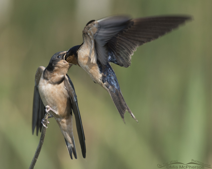 Juvenile Barn Swallow being fed