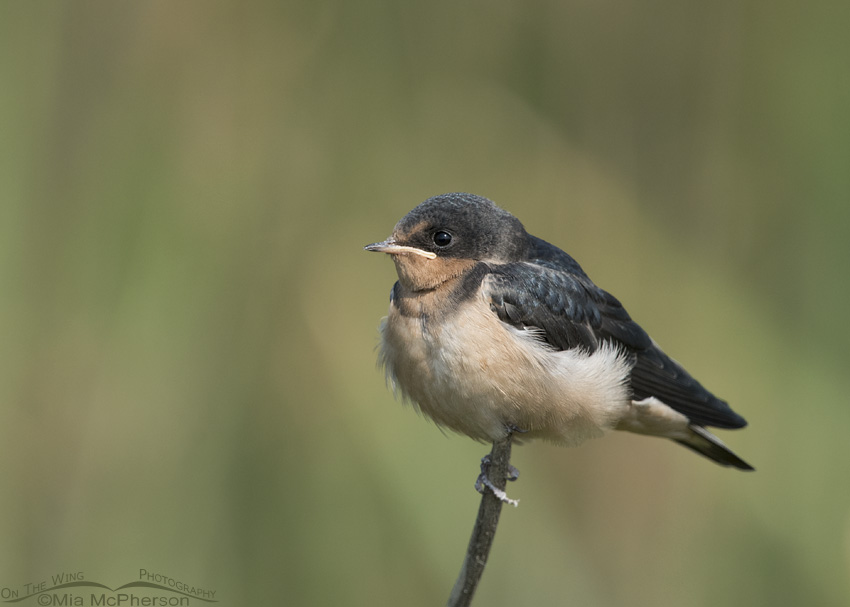 Perched juvenile Barn Swallow