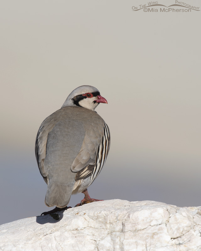 Over the shoulder look from a Chukar