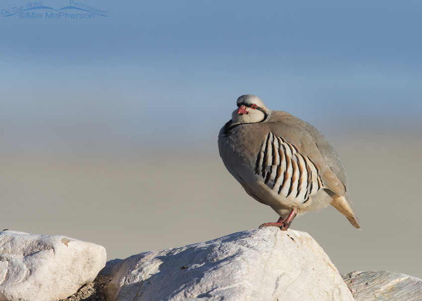 A Chukar with the Great Salt Lake