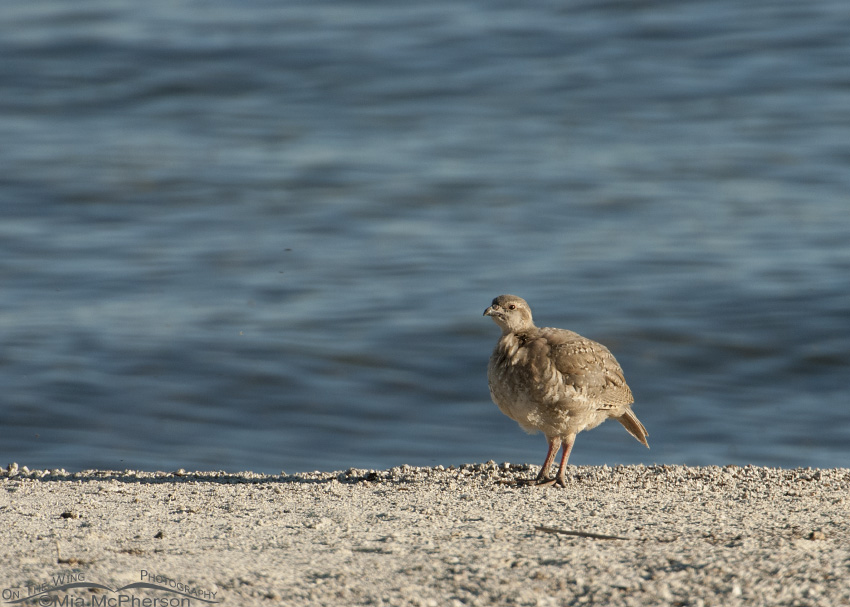 The Great Salt Lake and juvenile Chukar