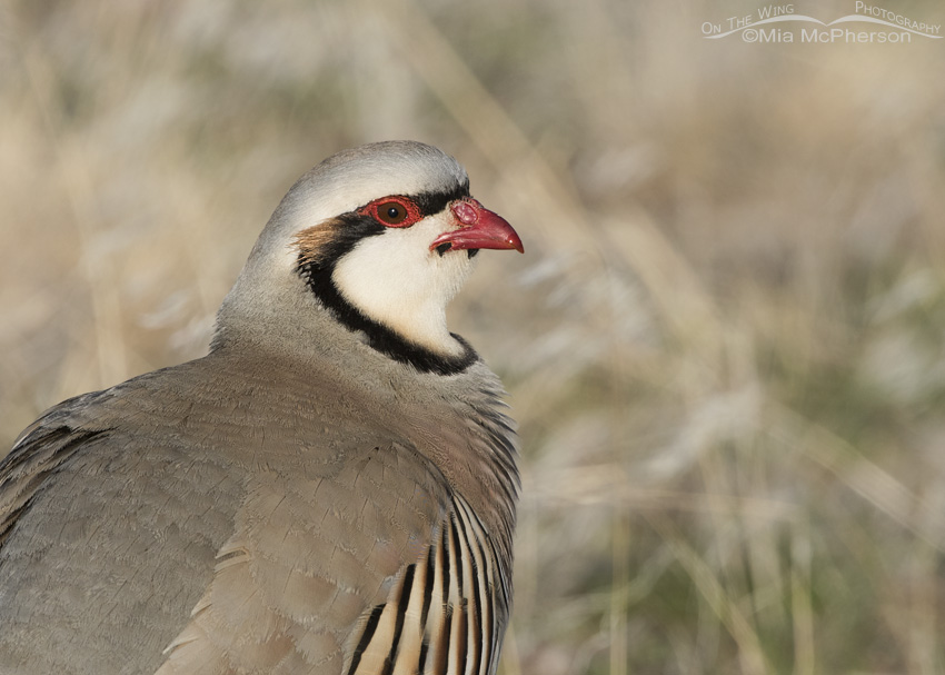 March Chukar portrait