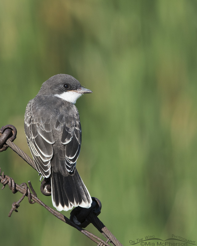 Juvenile Eastern Kingbird at Farmington Bay WMA