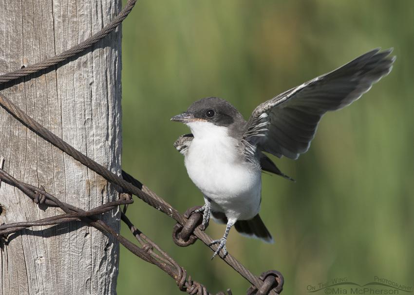 Juvenile Eastern Kingbird regaining its balance