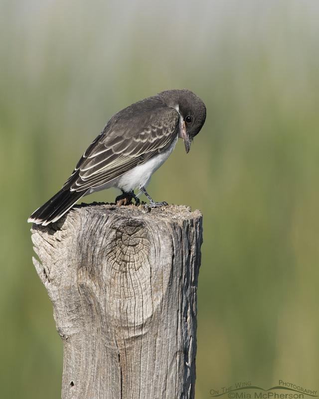 Juvenile Eastern Kingbird looking down