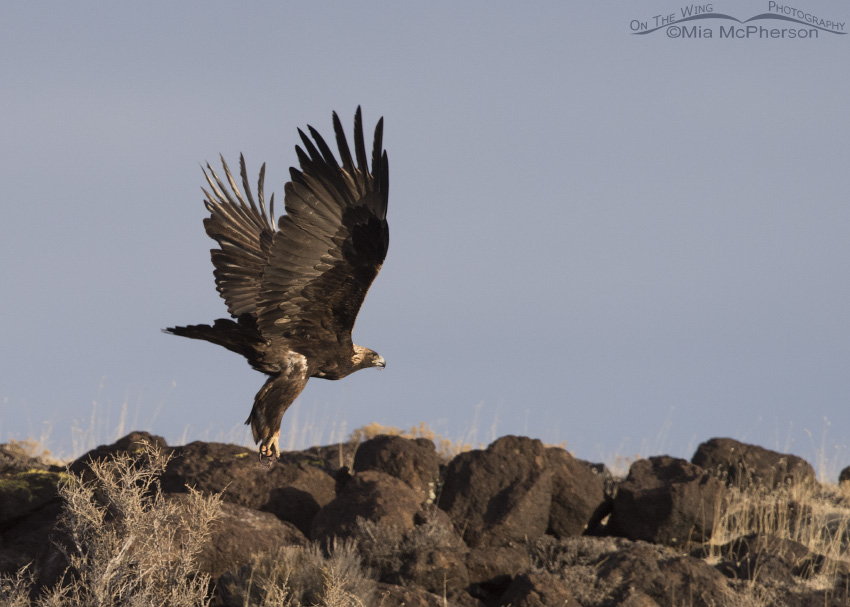 Adult Golden Eagle in flight over ancient boulders