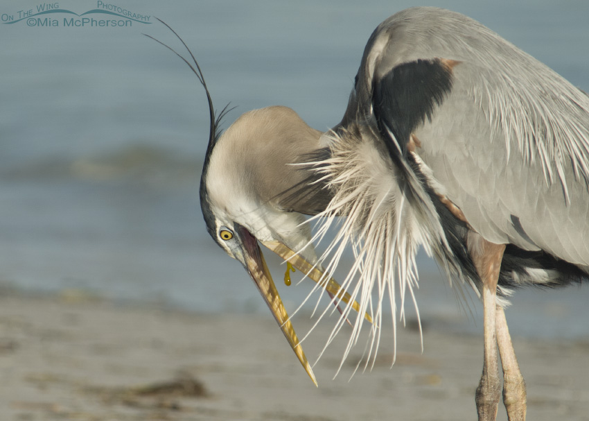 Great Blue Heron expelling bile in Florida
