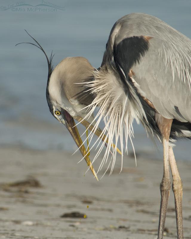 Great Blue Heron bile