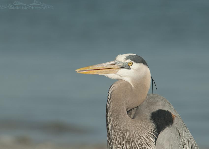 Great Blue Heron post bile expulsion