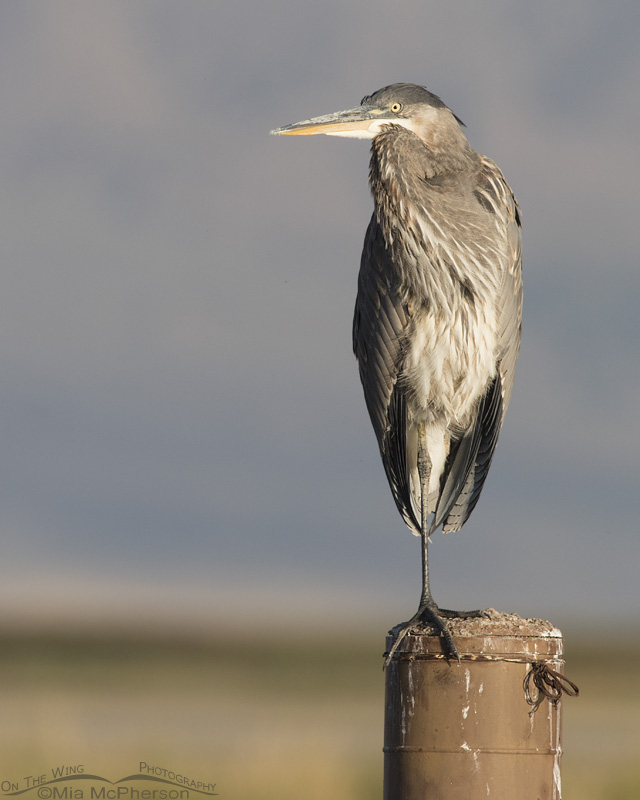 Great Blue Heron on a large post