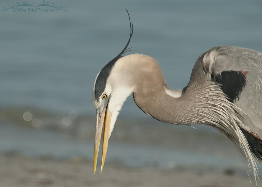 Retching Great Blue Heron