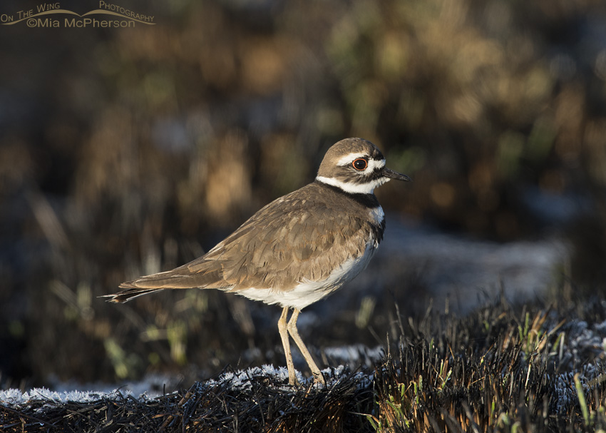 Killdeer in a frosty recently burned area