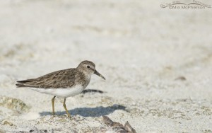 Least Sandpiper on the sand next to a lagoon