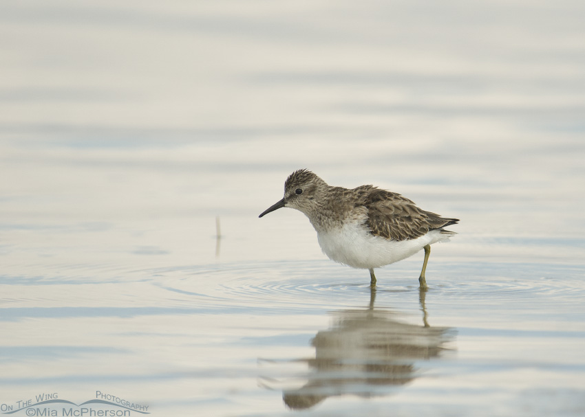 Least Sandpiper in early morning light