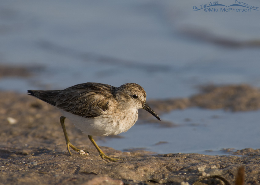 Least Sandpiper at the edge of the lagoon