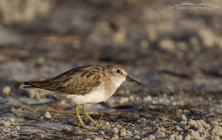 A Least Sandpiper looking at the sky