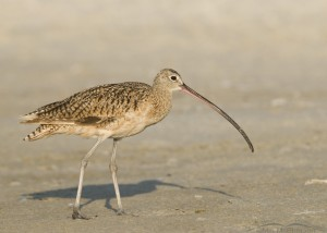 Long-billed Curlew on mud flats in Florida
