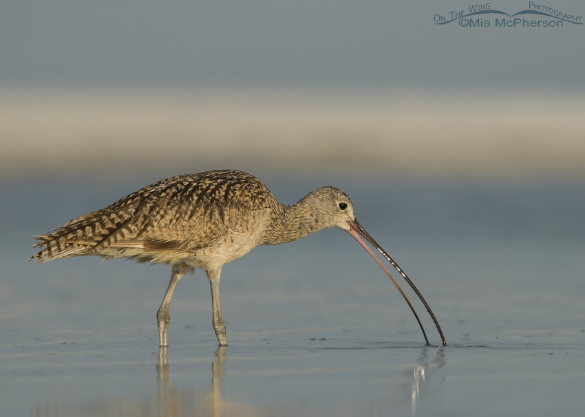 Long-billed Curlew with open bill