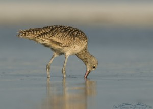 Long-billed Curlew foraging in a lagoon