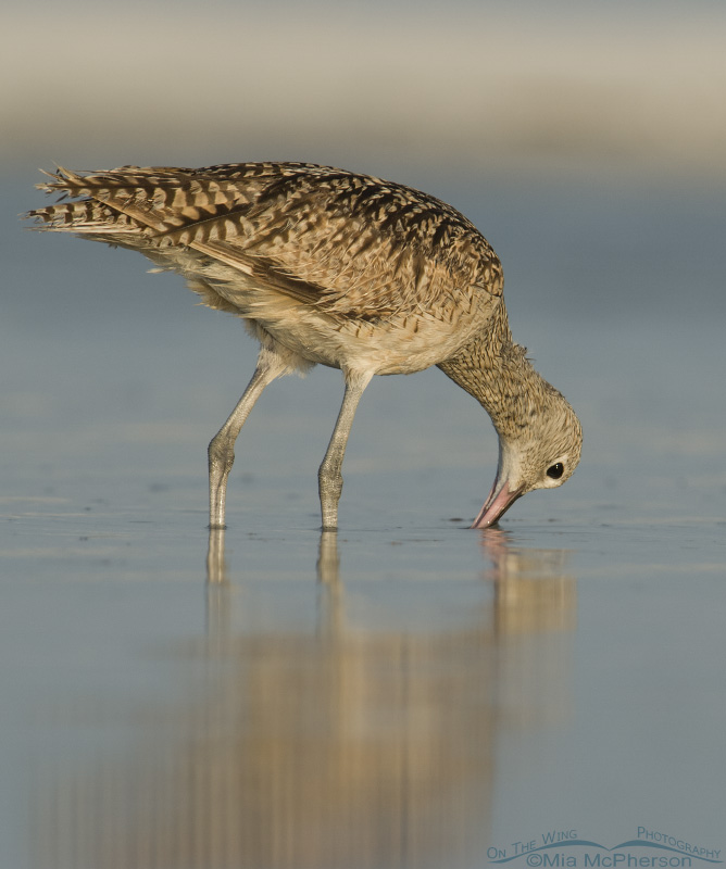 Long-billed Curlew with bill in the water