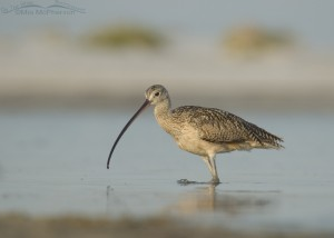 Long-billed Curlew on the hunt