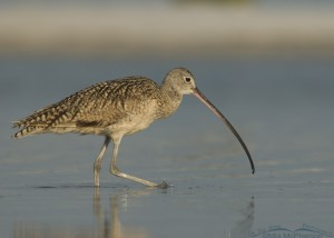 Long-billed Curlew in a saltwater lagoon