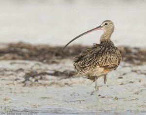 Low light Long-billed Curlew in Florida