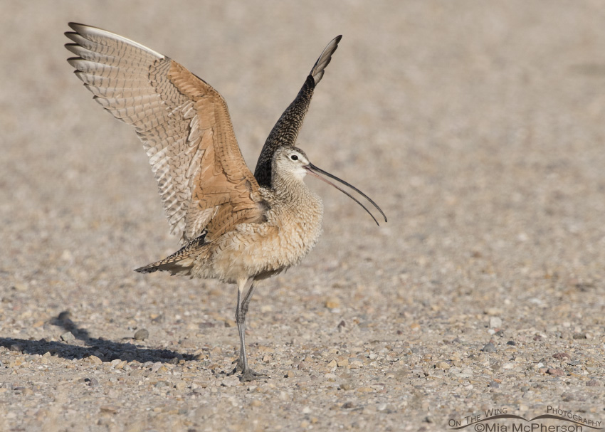 The Long-billed Curlew Scores