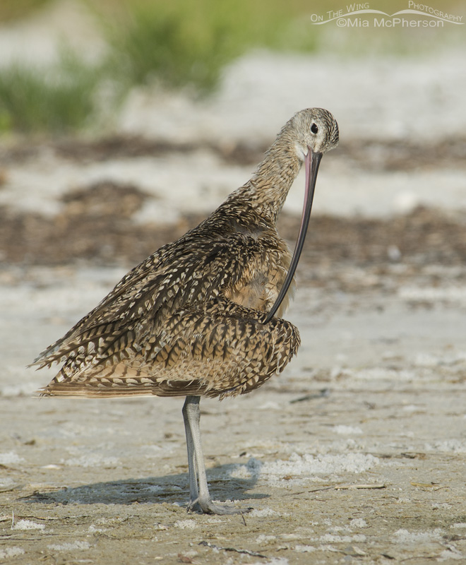 Long-billed Curlew preening near the wrack line