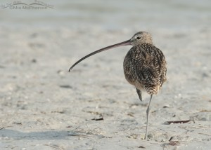 Young female Long-billed Curlew resting on one leg