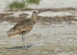 Stretched out Long-billed Curlew
