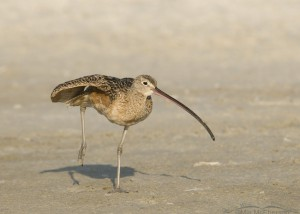 Long-billed Curlew stretching on mud flats