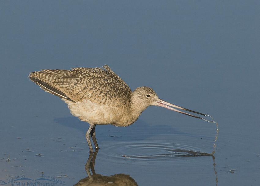 Marbled Godwit drinking water