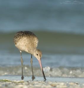 Godwit on the Gulf shoreline