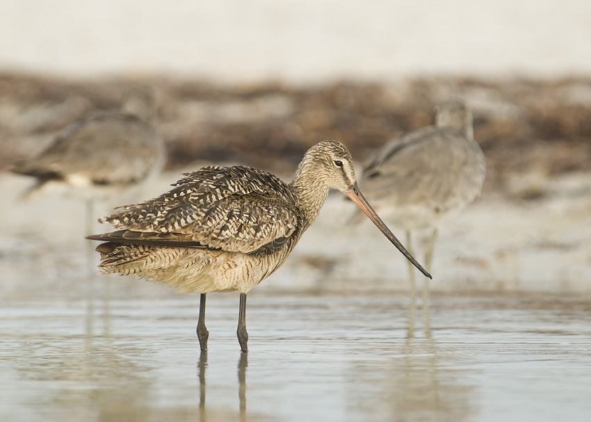 Marbled Godwit with Willets in fog