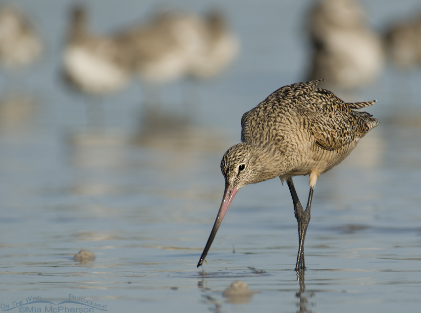 Marbled Godwit Stare