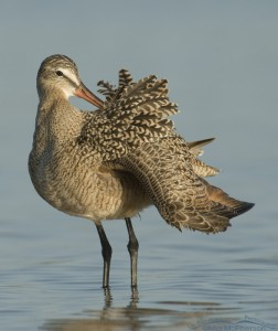 Marbled Godwit preening in a tidal lagoon