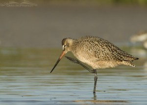 A Marbled Godwit with an itch